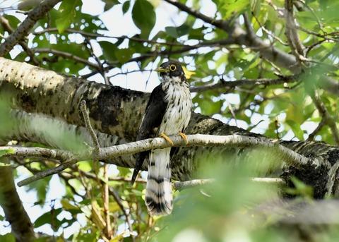 ジュウイチ幼鳥2916