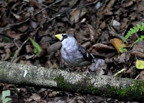 イカル幼鳥1235