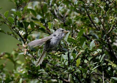 ウグイス幼鳥2514 - コピー