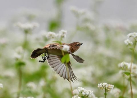 飛ぶ・ノビタキ♀9076