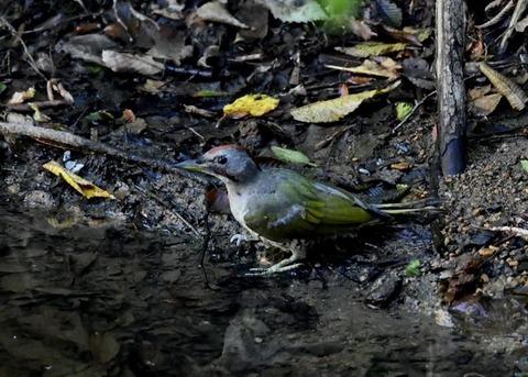 アオゲラ幼鳥♂8556