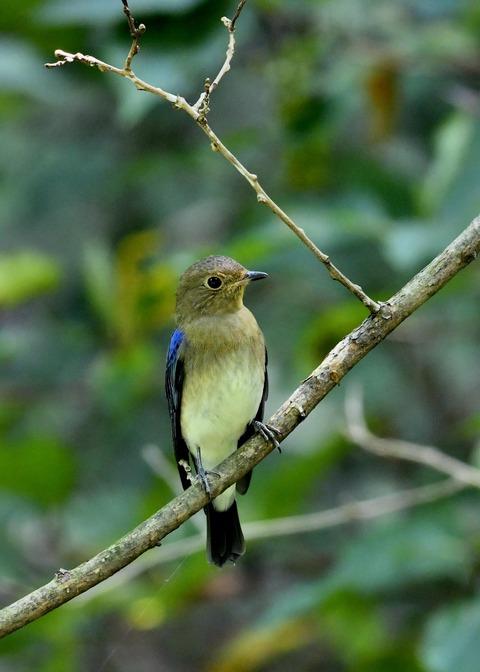 オオルリ♂若鳥0778