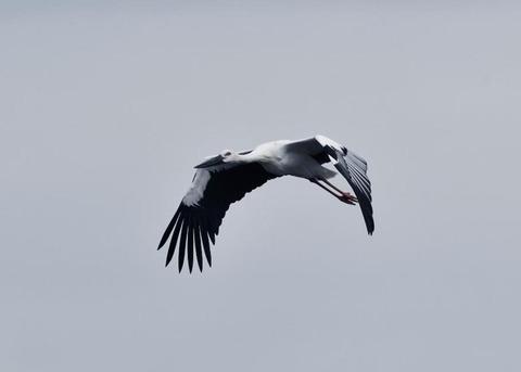 飛ぶ・コウノトリ3387