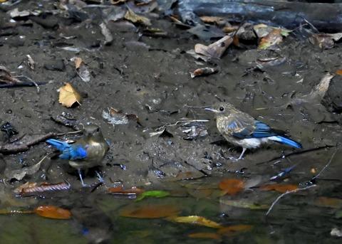 オオルリ幼鳥①②6297