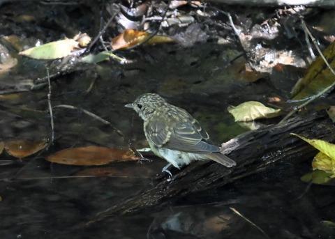 キビタキ幼鳥3477