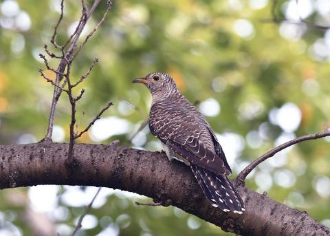 ツツドリ幼鳥5978