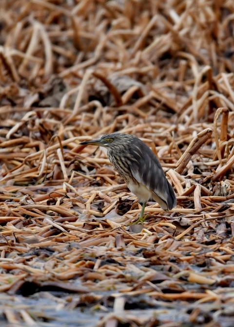 アカガシラサギ冬羽5630