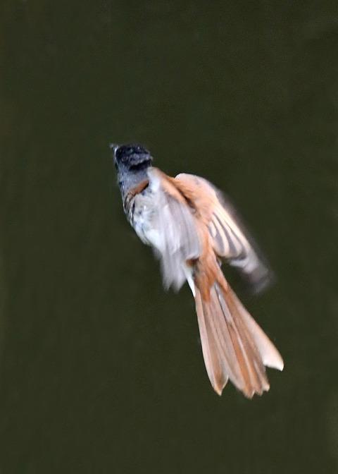 サンコウチョウ幼鳥9399