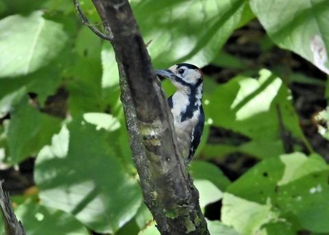 アカゲラ♂幼鳥3008