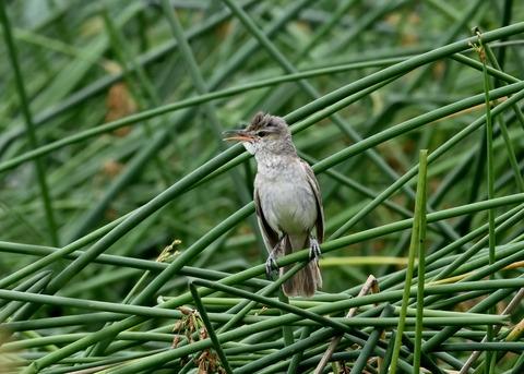 オオヨシキリ幼鳥8595