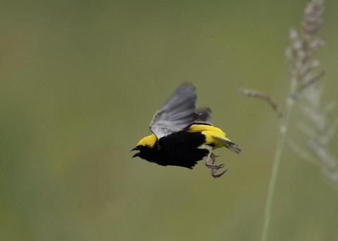 飛ぶオウゴンチョウ♂1541