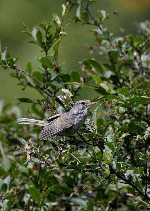ウグイス幼鳥2483