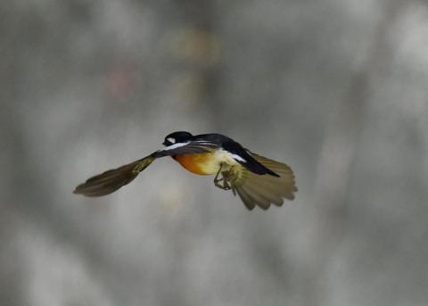 飛ぶ・ムギマキ♂0262