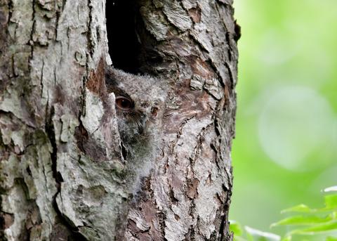オオコノハズクのヒナ0529