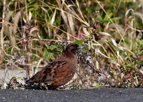 コリンウズラ若鳥1416