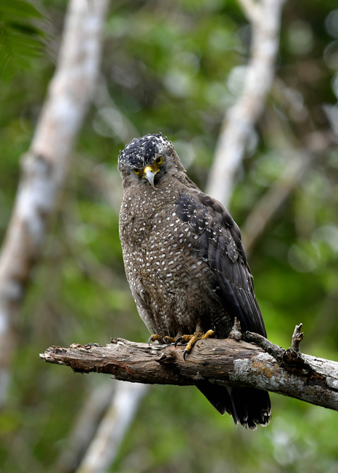 カンムリワシ成鳥5927