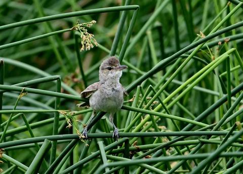 オオヨシキリ幼鳥8574