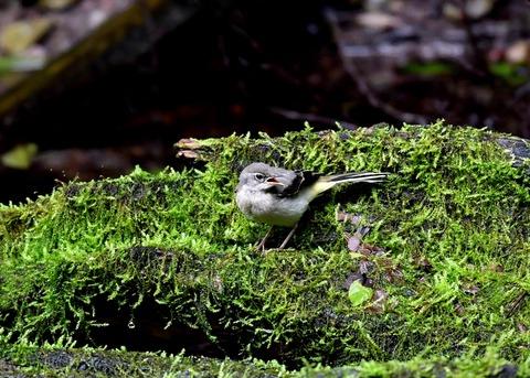 キセキレイ幼鳥8216
