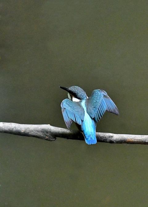 カワセミ若鳥4182