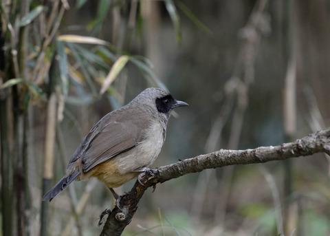 カオグロガビチョウ・若鳥・6159