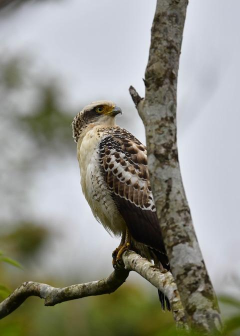 カンムリワシ若鳥6391