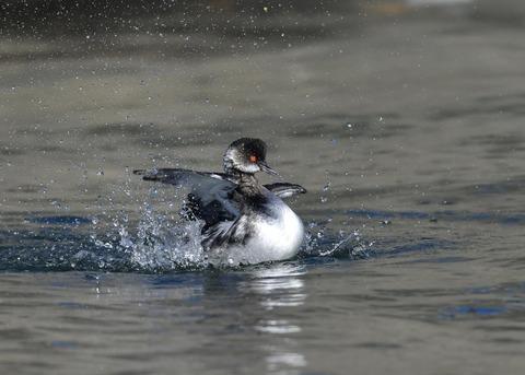 水浴び・ハジロカイツブリ冬羽0765