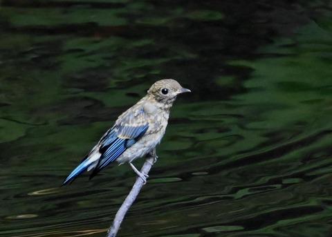 オオルリ幼鳥②6529