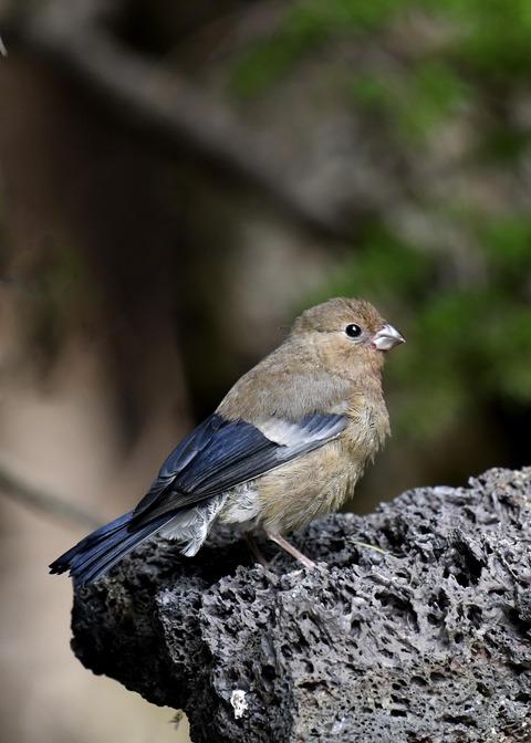 ウソ幼鳥8571