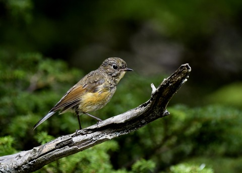ルリビタキ幼鳥8955