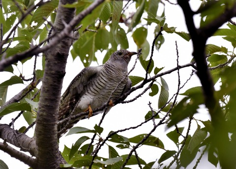 ツツドリ幼鳥5455