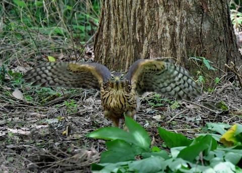 オオタカ幼鳥3549