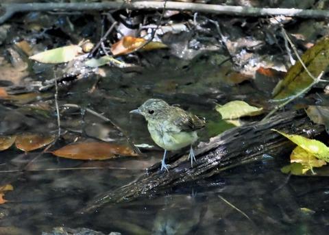 キビタキ幼鳥3404