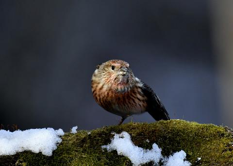 オオマシコ若鳥9588