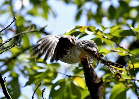 ツツドリ幼鳥5875