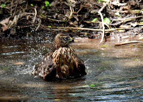 オオタカ幼鳥3932