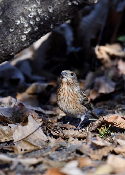 オオマシコ若鳥8909
