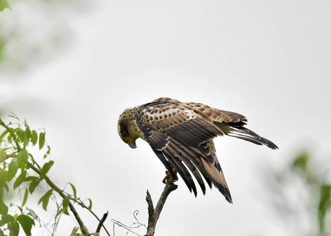 カンムリワシ若鳥6552