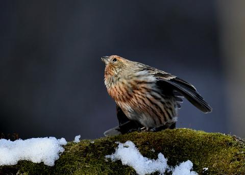 オオマシコ若鳥9563