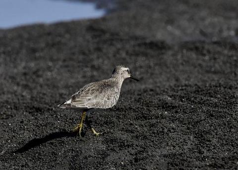 コオバシギ幼鳥0195
