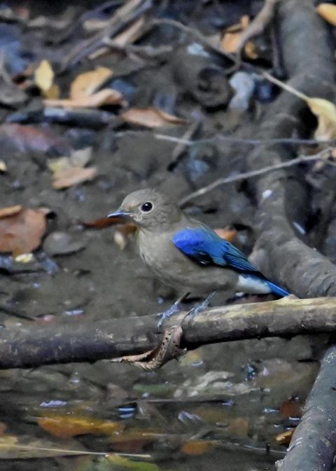 オオルリ幼鳥①6352