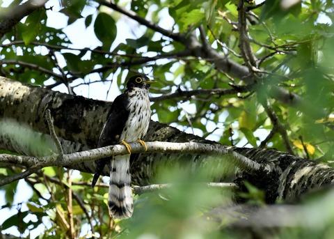 ジュウイチ幼鳥2895