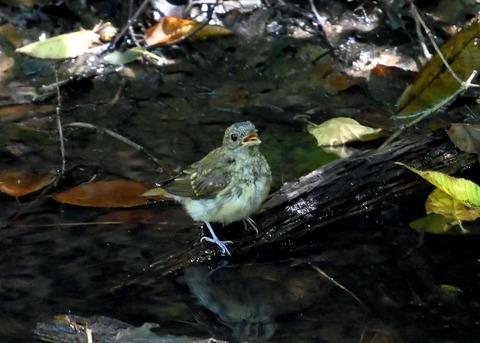 キビタキ幼鳥3456