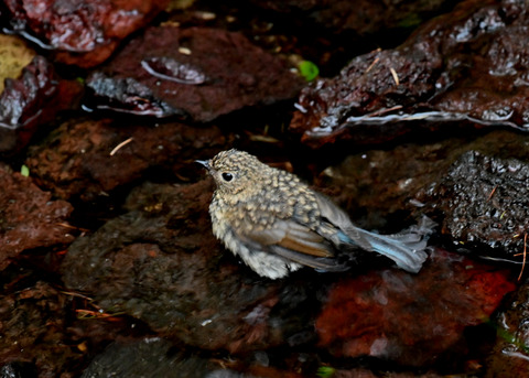 ルリビタキ幼鳥8236