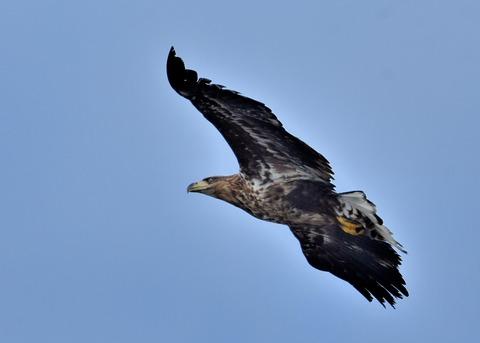 オジロワシ若鳥9278