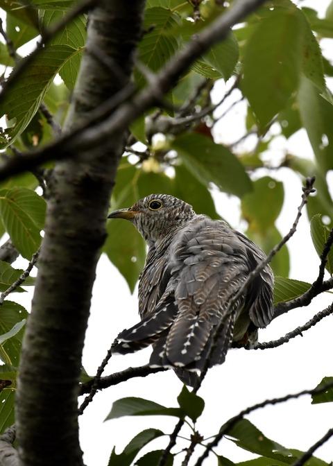 ツツドリ幼鳥5664