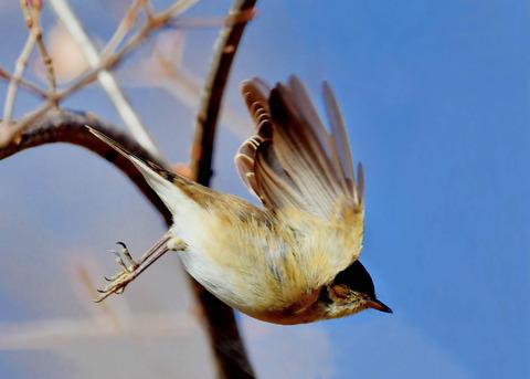 飛ぶ・ニシオジロビタキ♀3305