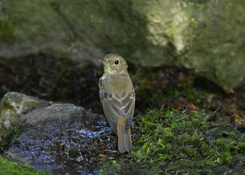キビタキ♀幼鳥1308