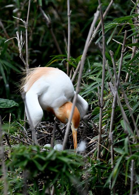 アマサギ(抱卵)5558