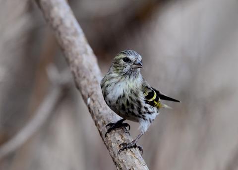 マヒワ若鳥3286
