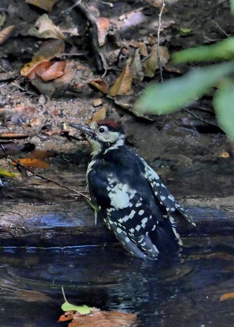 アカゲラ♂幼鳥3674